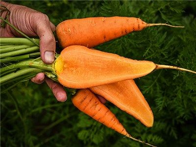 Carrot Chantenay Red Care