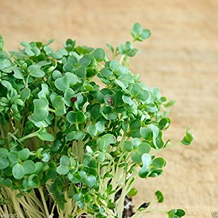 Cress Moss Curled