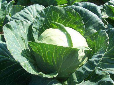 Cabbage Late Flat Dutch