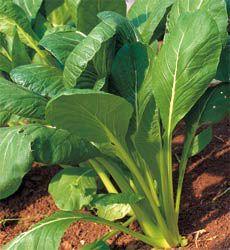 Spinach Tendergreen (Komatsuna)