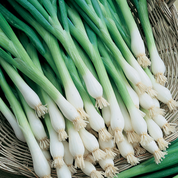 Spring Onion Tokyo Long White