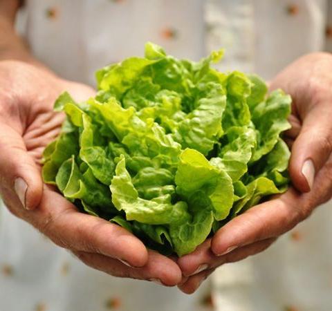 Lettuce Tom Thumb Buttercrunch