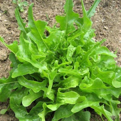 Lettuce Royal Oakleaf