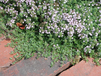 Herb Thyme Common