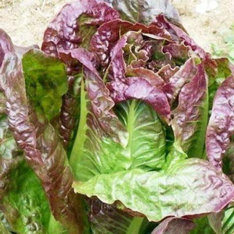 Lettuce Cimmaron