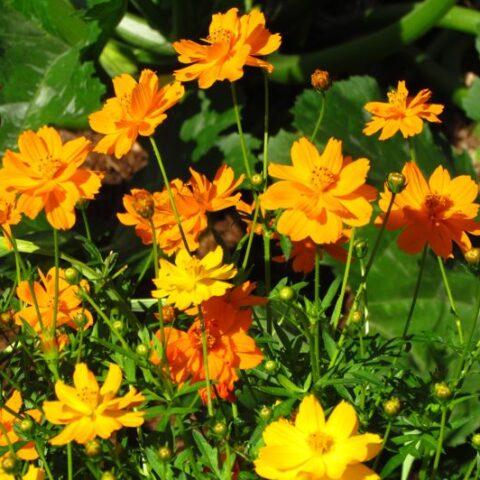 Flower Cosmos Bright Lights