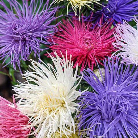 Flower Aster- Crego Giant Mixture
