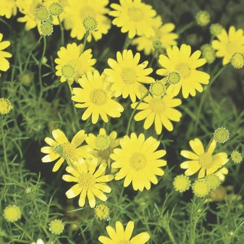 Flower Dahlberg Daisy – Golden Fleece