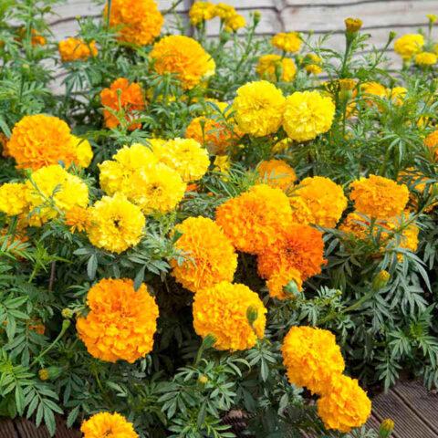 Flower Marigold Cracker Jack Mix