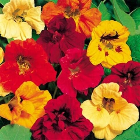 Flower Nasturtium Jewel Mix