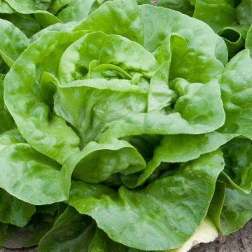Lettuce Wayahead