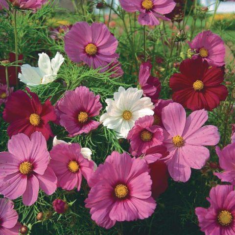 Flower Cosmos – Sensation Mixture