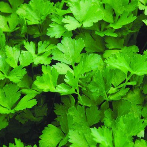 Herb Parsley Italian Flat Leaf