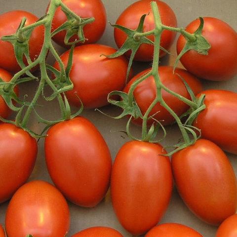 Tomato Oregon Springs