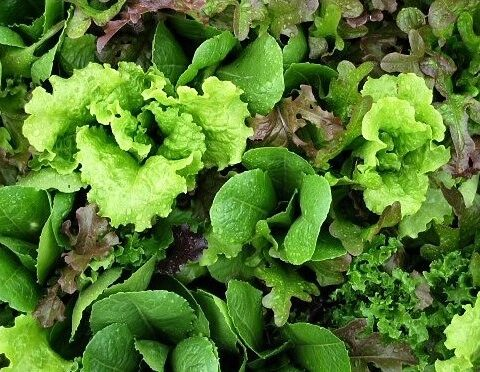 Lettuce Mesclun Salad Mix